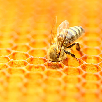 Close up image of a honey bee in a honey comb.