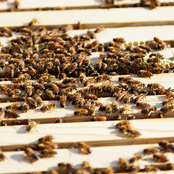 Research abuzz with new apiary on Laurier's Brantford campus