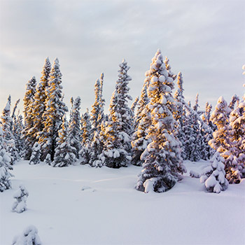 Image of snow-covered pine trees.