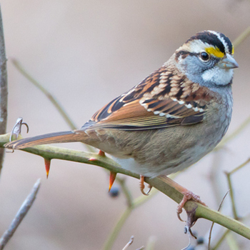 Image - Biology Professor Scott Ramsay speaks on CBC Radio about a 'viral' birdsong